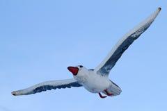 Bird  seagull Stock Image