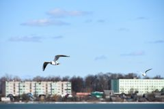 Birds of the seagull fly over the lake water in the city on the background of houses. Bird of the seagull fly over the lake water in the city on the background Royalty Free Stock Photography