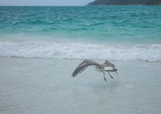 Seagull flying shallow on beach stock image