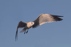 BIRD. Seagull gliding for food at Galveston Ferry harbour Stock Photography