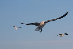 BIRD. Seagull gliding for food at Galveston Ferry harbour Stock Images