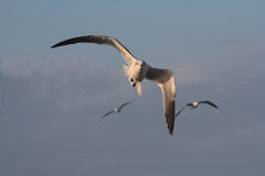 BIRD. Seagull gliding for food at Galveston Ferry harbour Royalty Free Stock Photos