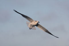 BIRD. Seagull gliding for food at Galveston Ferry harbour Stock Photos