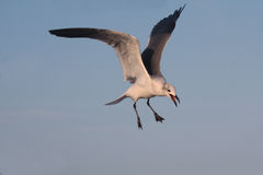 BIRD. Seagull hovering for food at Galveston Ferry harbour Royalty Free Stock Photography