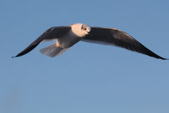 BIRD. Seagull hovering for food at Galveston Ferry harbour Stock Image