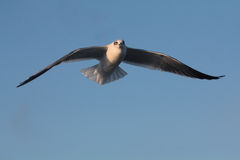 BIRD. Seagull hovering for food at Galveston Ferry harbour Stock Photography