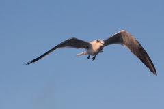 BIRD. Seagull hovering for food at Galveston Ferry harbour Royalty Free Stock Photo