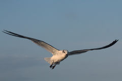 BIRD. Seagull hovering for food at Galveston Ferry harbour Royalty Free Stock Photos