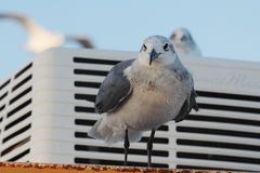 BIRD. Seagull perched on pylon at Galveston Ferry harbour Stock Image