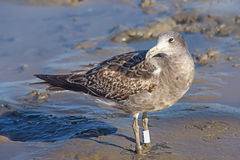 Bird Seagull perched on the sand Royalty Free Stock Photos