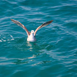 Bird seagull on sea water in ocean Royalty Free Stock Photo