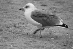 Bird seagull sitting on the beach. Beautiful Large bird ruffled seagull sits on a sandy beach. She fluffed up feathers and wings folded. Photo black and white Royalty Free Stock Photo