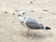 Bird. Seagull on the street stock photography