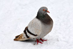 Pigeon on to snow Royalty Free Stock Photos