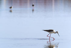 Bird searching for fish. Bird in front searching food in a lake with another two birds defocused on back royalty free stock image