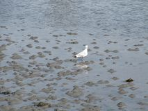 Bird searching for food during a low tide stock photos