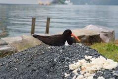 Bird on seascape in Geiranger, Norway. Eurasian Oystercatcher bird on rock on sea shore. Seabird, animal, wildlife. Nature, ecolog. Bird on seascape in Geiranger Royalty Free Stock Images