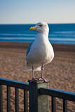 Bird by the seaside. Heron gull waiting on the railings above a sandy beach and blue sea Stock Images