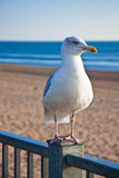 Bird by the seaside. Heron gull waiting on the railings above a sandy beach and blue sea Royalty Free Stock Images