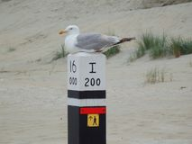Bird seaside. Beautiful seagull bird sitting on wooden pilar  at the beach Royalty Free Stock Images