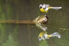 A bird seated on a log floating in a river. A yellow and grey feathered bird standing on one end of a log floating in water with its reflection also seen in the Royalty Free Stock Photo