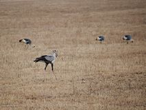 Bird secretary close-up, bird secretary Safari Ngorongoro safari - Tarangiri in Africa stock images