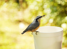 Bird with seed. Swallow small grey bird eating seed out of container on nature walk Royalty Free Stock Photography