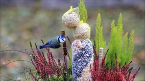 Bird seed in a flowerpot. Feeding wild birds in the garden stock video footage