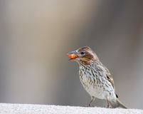Bird with seed in mouth. Bird perched on wall with seed in its mouth Royalty Free Stock Photos