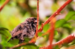 Bird, Seedeater perched on branch in aviary Royalty Free Stock Images