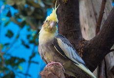 Cockatiel Portrait. This bird seems to be wondering if the photographer has brought any treats to share royalty free stock photo