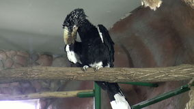 Bird, Serebryanokryly Hornbill stock video footage