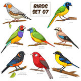 Bird set cartoon colorful vector illustration Royalty Free Stock Images