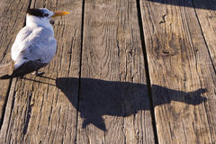 Bird and Shadow. Royal Tern casts shadow on wooden pier at Anna Maria Island Royalty Free Stock Image