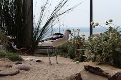 Bird with sharp bent beak. Bird standing in sand in a zoo with sharp legs and beak that is bent Stock Images