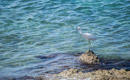 Bird on shoreline. Tall white egret  on rocky shoreline by water. Location Caribbean Islands Stock Images