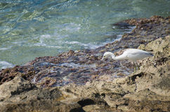 Bird on shoreline. White tern with black tail on rocky shoreline by water. Location Caribbean Islands Royalty Free Stock Images