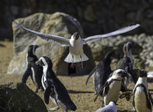 Bird shows off flight to flightless birds. Evolution of wings. Evolution of birds. Feathers, wings and flight. Penguins remain nonchalant as gull shows off what Royalty Free Stock Images