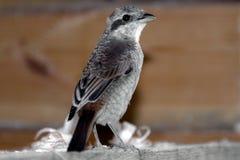 Bird shrike. The frightened baby bird flown to the house Royalty Free Stock Photos