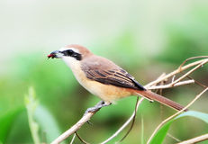 Bird. Shrike bird life Royalty Free Stock Photo