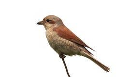 Bird Shrike sitting on a branch Stock Photo