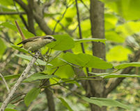 The bird - the shrike Royalty Free Stock Images