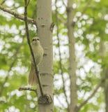 The bird - the shrike Royalty Free Stock Photo