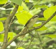 The bird - the shrike Royalty Free Stock Image