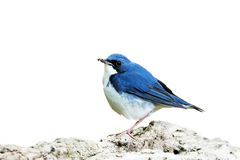 Bird (Siberian Blue Robin)  on white backg Royalty Free Stock Photography