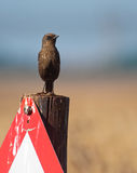 Bird on sign post. An ant-eating chat standing on a warning sign post with a soft blurred background Stock Photo