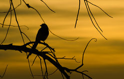 Bird silhouette. A Magpie Silhouetted against a sunset Royalty Free Stock Images