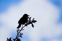 Bird silhouette. Black bird resting on a branch Royalty Free Stock Photo