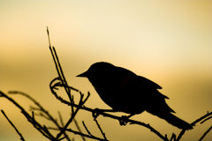Bird silhouette. Black bird reseting on a branch Royalty Free Stock Image