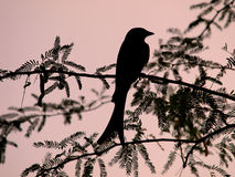 Bird silhouette. Resting on a branch at sunrise royalty free stock photography